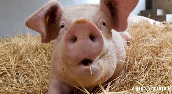 生猪饲料涨价 大豆战役后果严重?