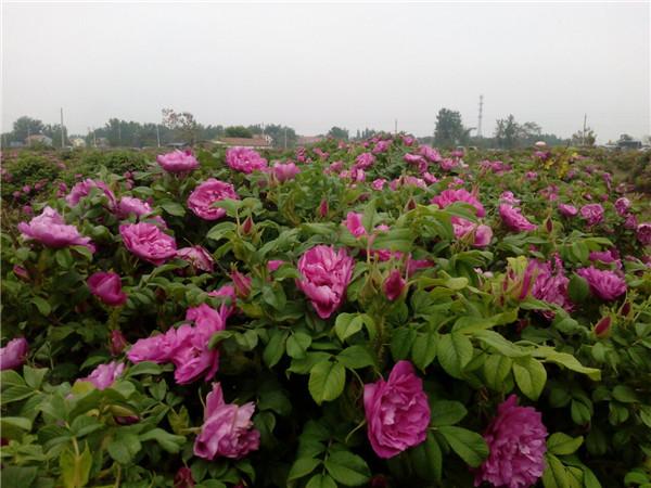木兰之乡首届玫瑰采摘文化节隆重开幕