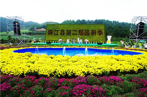 贵州麻江:400多亩菊花园敞开胸怀等待你的相拥