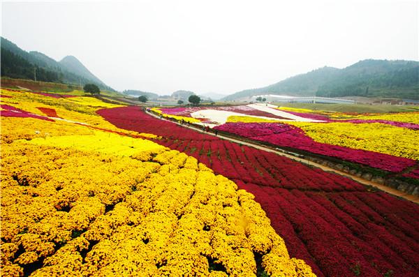 贵州麻江:各色秋菊绽放 让人美不胜收