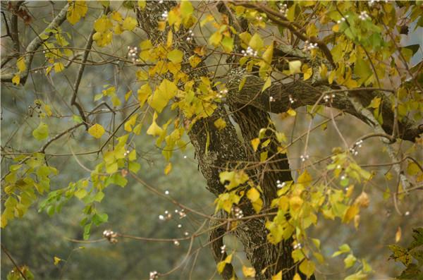 从江:冬日银杏遍地撒金黄