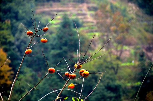 从江:冬来野柿满枝红     无人采摘任凭山鸟吃